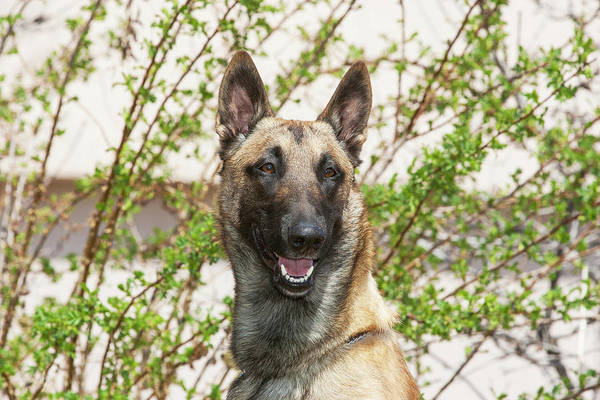 Belgian Photograph - Purebred Malinois In Front Of Bushes by Piperanne Worcester