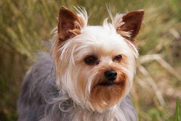 Canine Photograph - Purebred Yorkshire Terrier by Piperanne Worcester