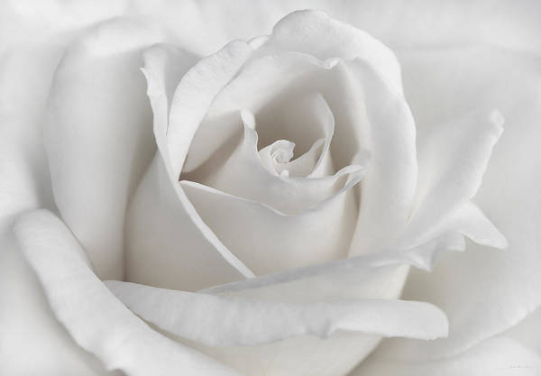 Jennie Photograph - Purity Of A White Rose Flower by Jennie Marie Schell