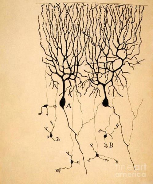 Biological Wall Art - Photograph - Purkinje Cells By Cajal 1899 by Science Source