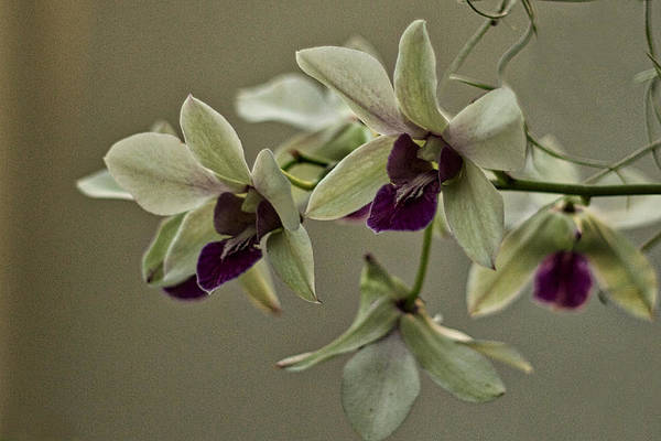 Photograph - Purple And Pale Green Orchids by Stuart Litoff
