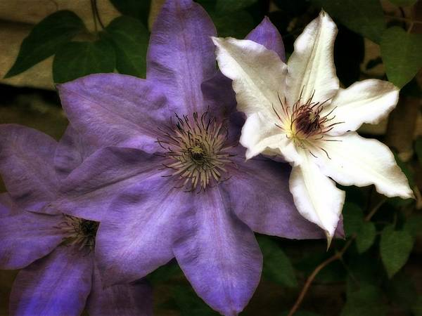 Wall Art - Photograph - Purple And White Clematis by Michelle Calkins