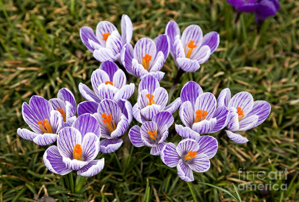 Photograph - Purple And White Crocus by Jill Lang