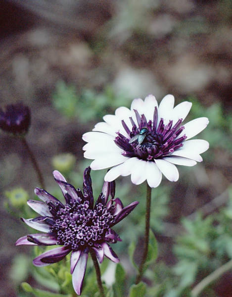 Photograph - Purple And White by HW Kateley