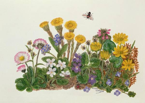 Forget Me Not Photograph - Purple And White Violets, Daisy, Celandine And Forget-me-not Wc On Paper by Ursula Hodgson