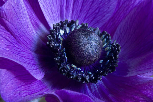 Photograph - Purple Anemone  by Kim Aston