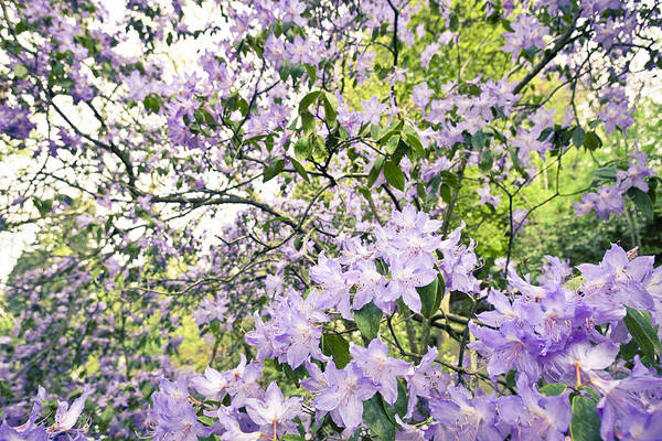Photograph - Purple Azalea Explosion  by Priya Ghose