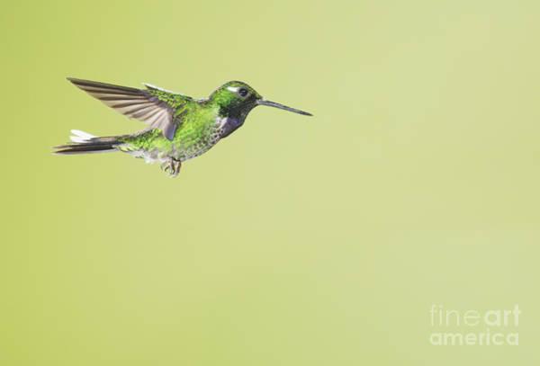 Photograph - Purple-bibbed White-tip Hummingbird by Dan Suzio