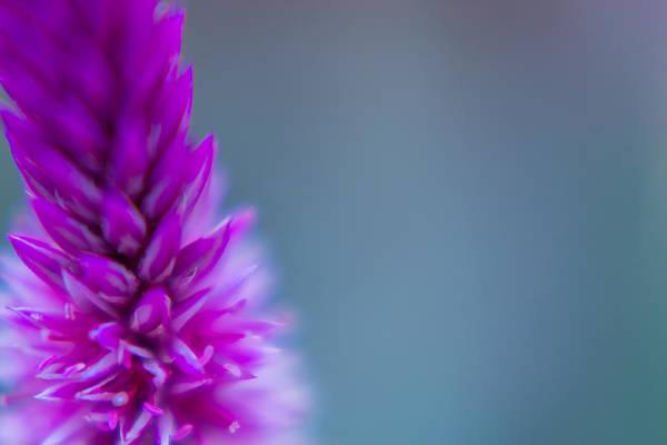 Photograph - Purple Blur by Steven Santamour
