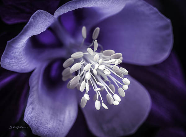 Photograph - Purple Burst Of  White Columbine by Julie Palencia