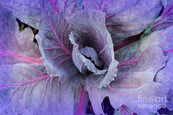 Purple Cabbage - Vegetable - Garden Art Print