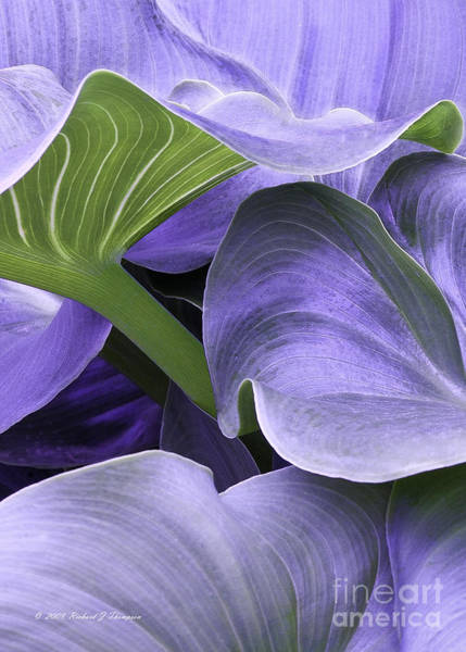 Photograph - Purple Calla Lily Bush by Richard J Thompson