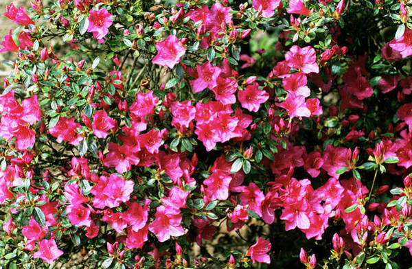 Chariot Wall Art - Photograph - Purple Chariot Rhododendron by Adrian Thomas/science Photo Library