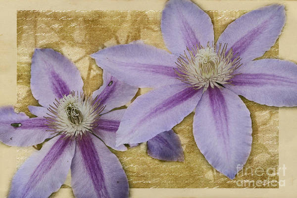 Photograph - Purple Clematis by Pam  Holdsworth