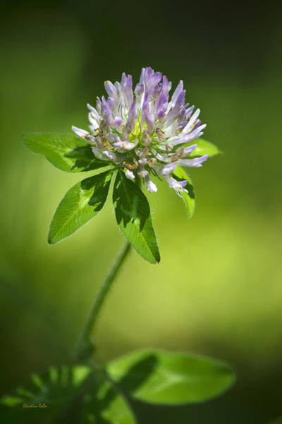 Photograph - Purple Clover Flower by Christina Rollo