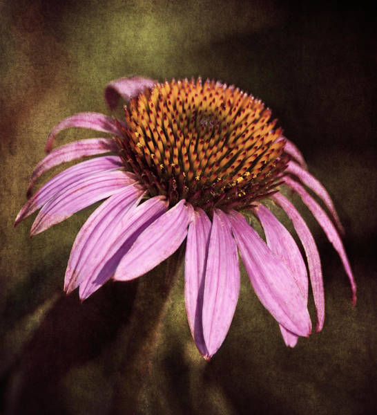 Wall Art - Photograph - Purple Cone Flower II by Dale Kincaid