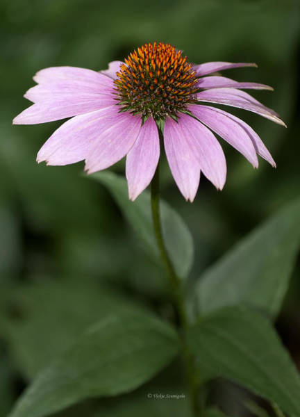Photograph - Purple Cone Flower by Vickie Szumigala