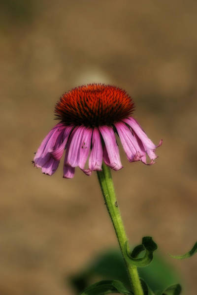 Photograph - Purple Coneflower by CE Haynes