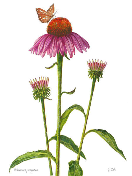 Purple Coneflower - Echinacea Purpurea  Art Print