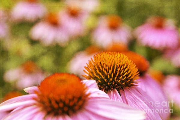 Photograph - Purple Coneflower Flowers Canvas Texture by Dan Friend
