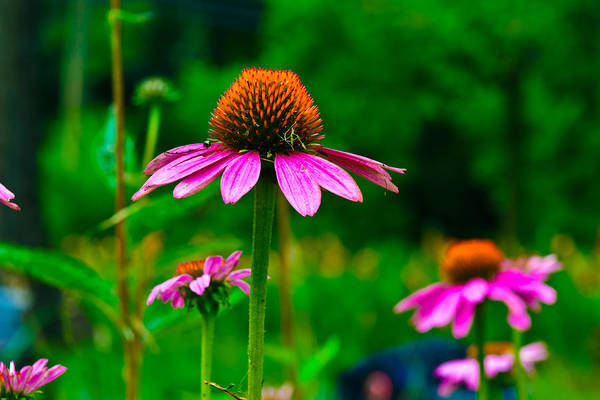 Photograph - Purple Coneflower by Louis Dallara