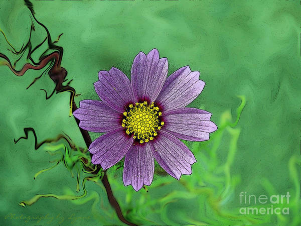 Photograph - Purple Cosmos by Gena Weiser