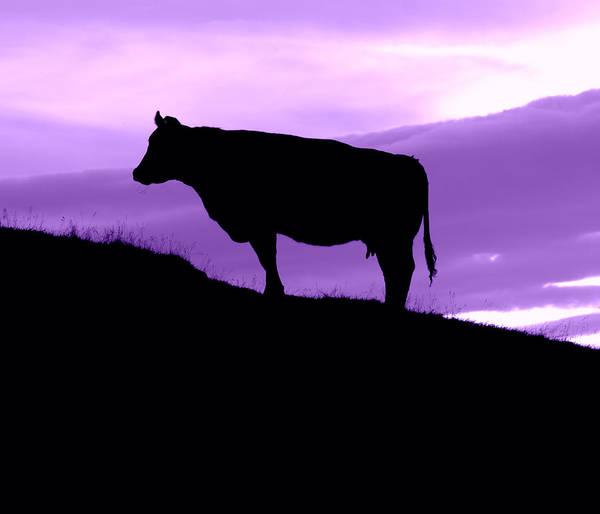 Milk Farm Photograph - Purple Cow by Mr Doomits