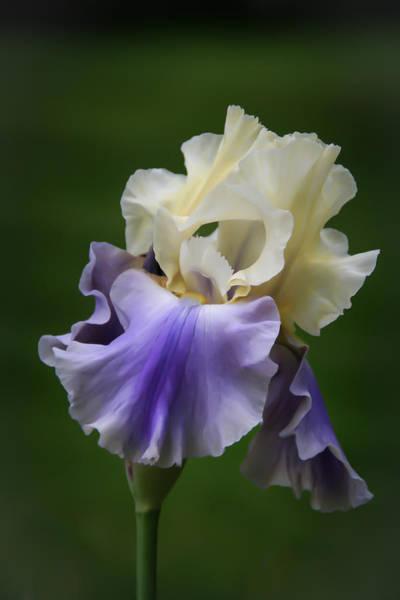Photograph - Purple Cream Bearded Iris by Patti Deters