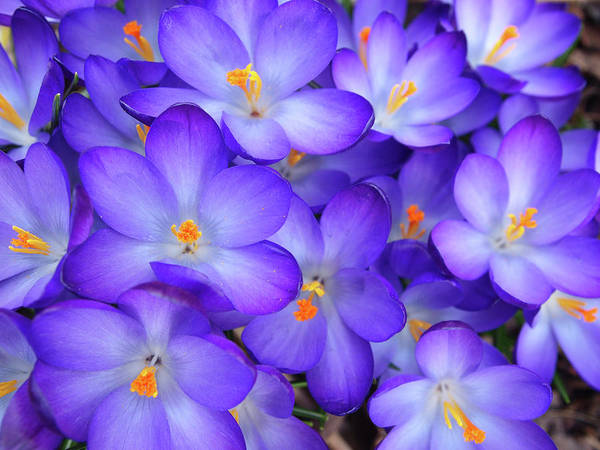 Anna Photograph - Purple Crocus by Anna Miller