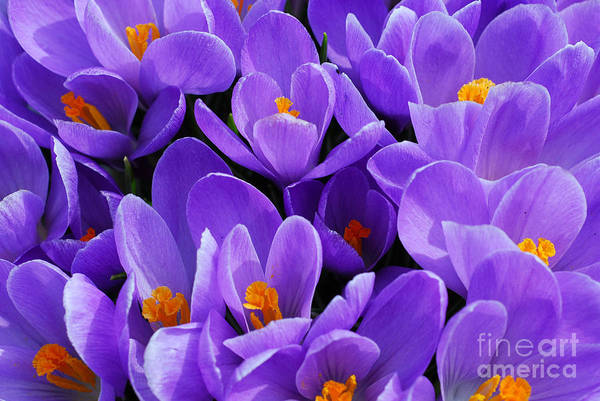 Photograph - Purple Crocus by Elena Elisseeva