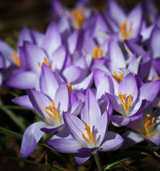 Wall Art - Photograph - Purple Crocus by Straublund Photography