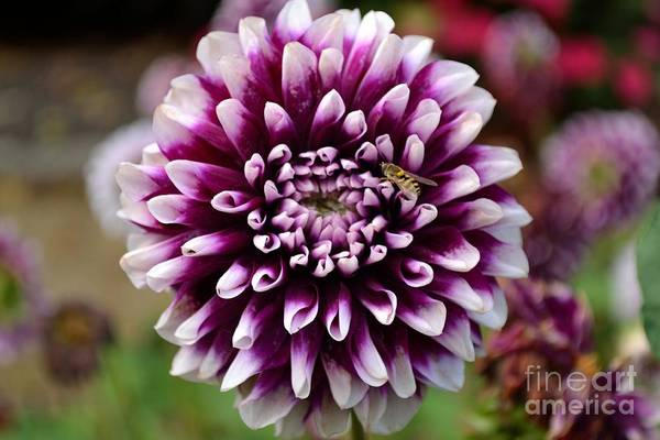Purple Dahlia White Tips Art Print