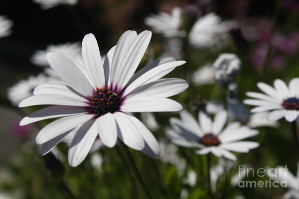 Photograph - Purple Daisies 2 by Kelly Holm