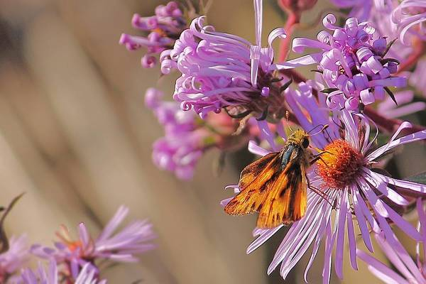 Photograph - Purple Daisies And Butterfly by Angela Murdock