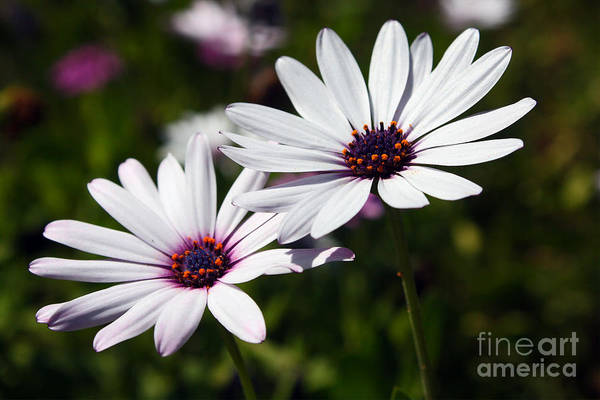 Photograph - Purple Daisies by Kelly Holm