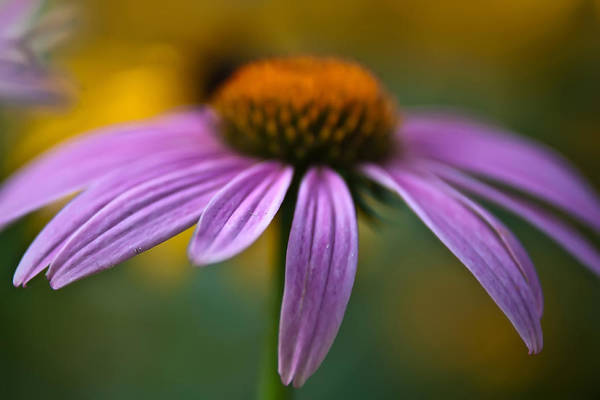 Photograph - Purple Daisy by Alex Grichenko