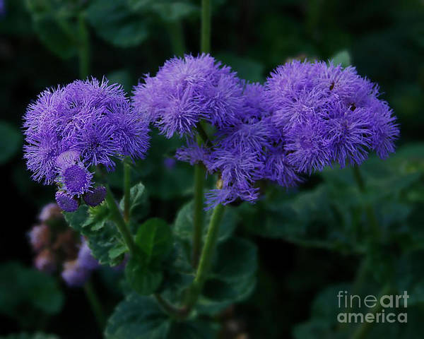 Photograph - Purple by Donna Cavanaugh