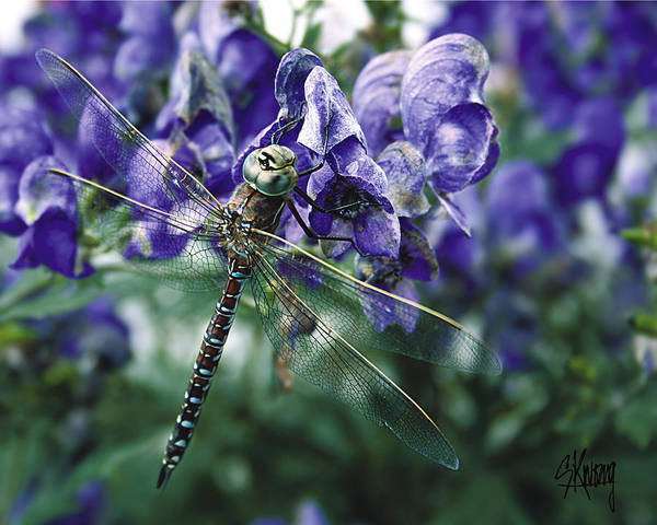 Photograph - Purple Dragonfly by Stan Kwong