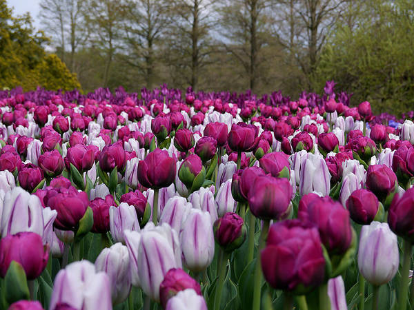 Photograph - Purple Field by Richard Reeve