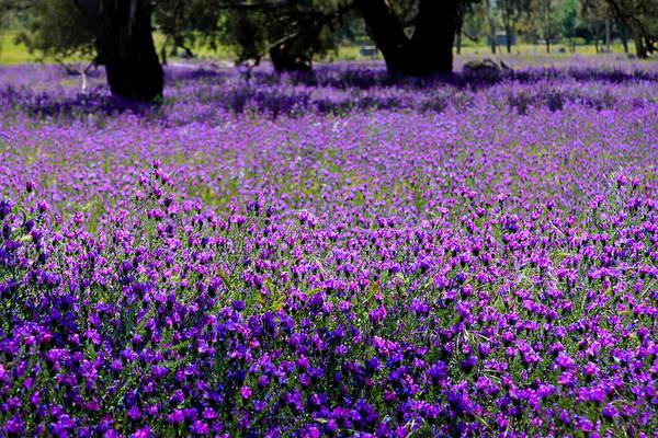 Photograph - Purple Fields by Jenny Setchell