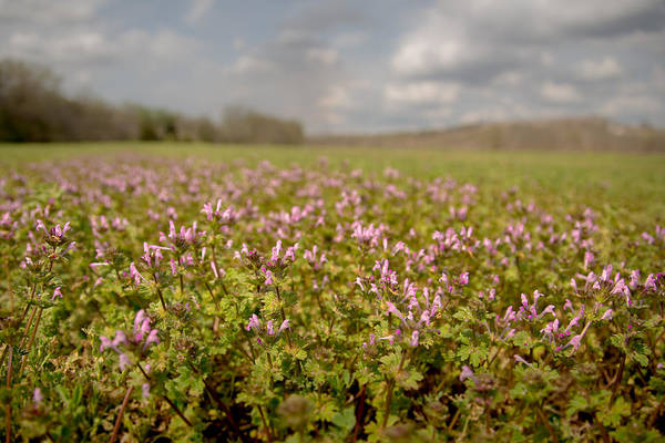 Photograph - Purple Fields by Ryan Heffron