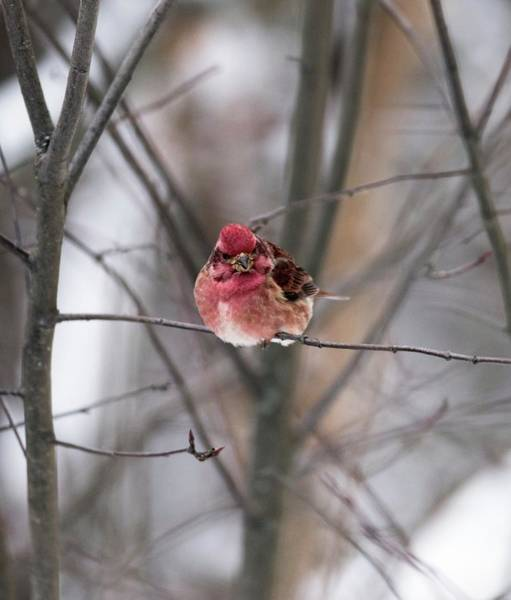 Finch Photograph - Purple Finch by Dr P. Marazzi/science Photo Library
