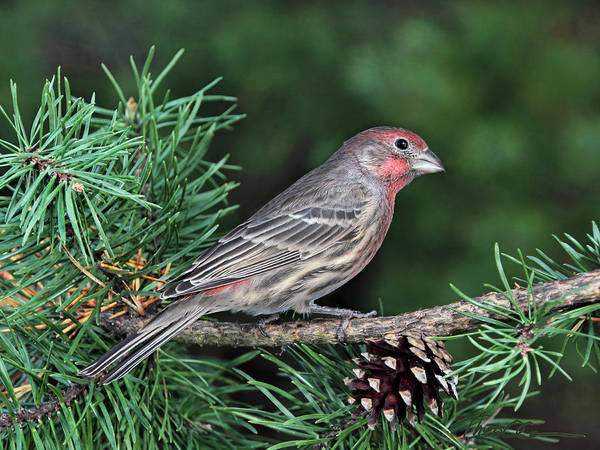 Photograph - Purple Finch Profile by Theo