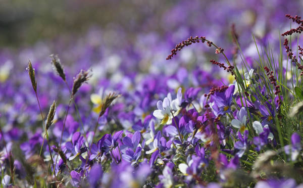 Photograph - Purple Flower Bed by Dreamland Media
