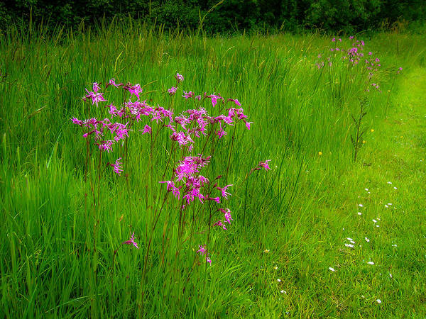 Photograph - Purple Flowers In A Green Irish Field by James Truett