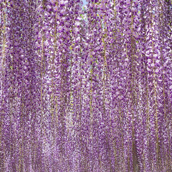 Wall Art - Photograph - Purple Flowers Of Japanese Wisteria by Ellie Teramoto