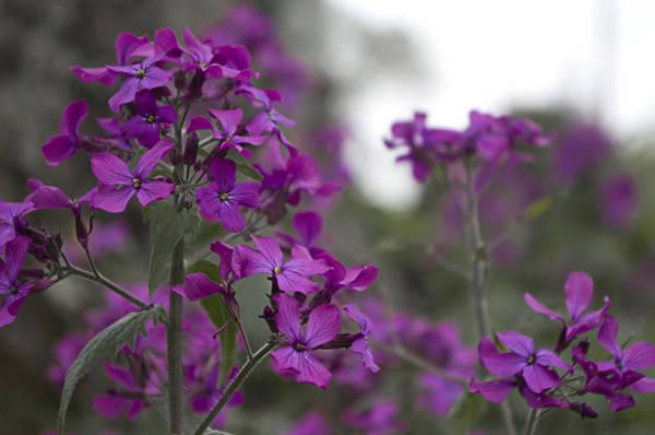 Photograph - Purple Flowers by Sharon Popek