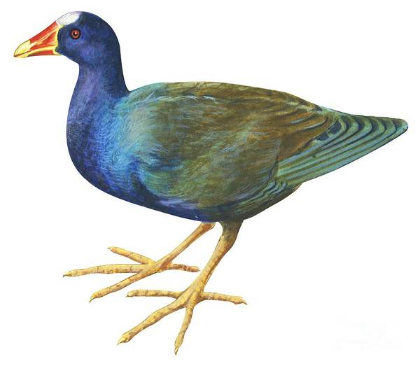 Close Up Drawing - Purple Gallinule by Anonymous