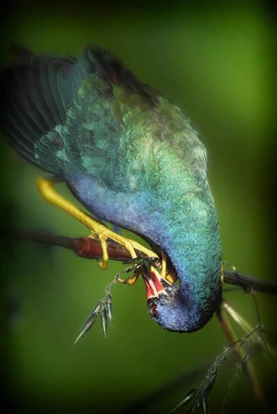 Photograph - Purple Gallinule C by Patrick M Lynch