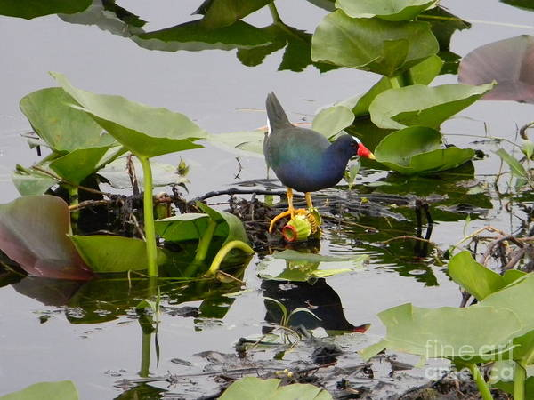 Alligator Alley Photograph - Purple Gallinule  by Jerri Phillips